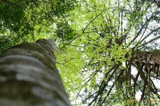 鮮やかなブナの葉